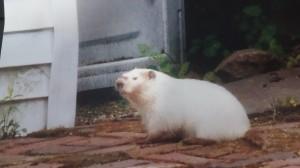 Albino Groundhog