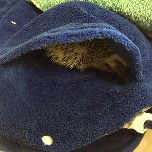 Hiding hedgehog2
