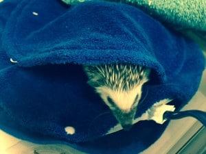 hiding hedgehog3