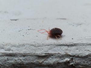 Clover Mite Pest Control