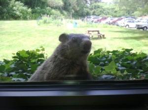 Ground hog looks through window