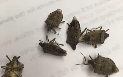 You Stink- Stink Bugs!