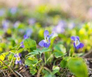 Violet Flower - Selective Herbicide for Violet & Ground Ivy Control