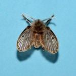 Drain Flies