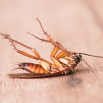 Pennsylvania Woods Roach