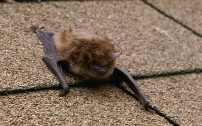 Are Nuisance Bats and Birds Driving You, Well, Batty?