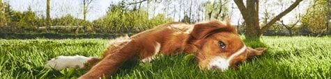dog resting on a healthy lawn