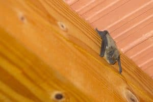 bat management and removal service in Worcester MA