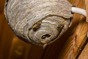hornet control services