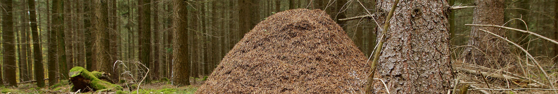 Allegheny Mound Ants
