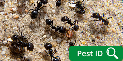 Ants | Carpenter Ants | Ant Control