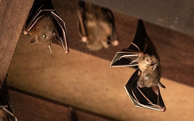 Three Steps to Getting Rid of Bats in Your Attic For Good