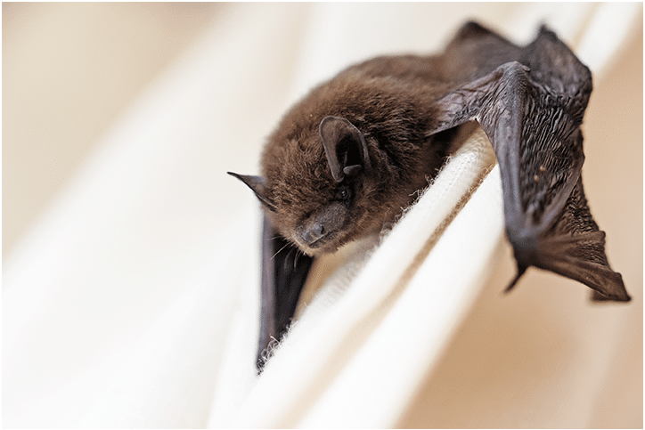 Bat in the House? Here's What to Do